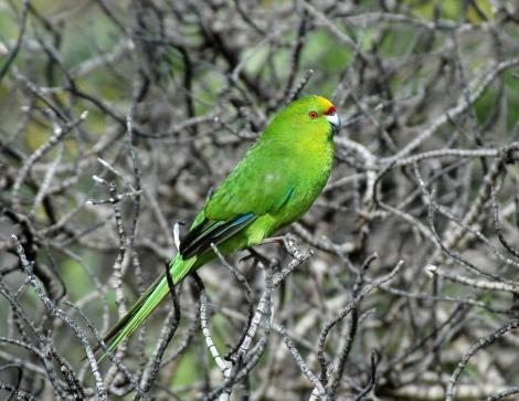Forbes' parakeet. Adult. Mangere Island, Chatham Islands, September 2009. Image © Department of Conservation (image ref: 10066569) by Don Merton, Department of Conservation Courtesy of Department of Conservation
