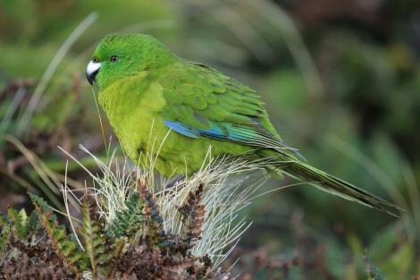 Antipodes Island parakeet. Adult. Antipodes Island, February 2011. Image © David Boyle by David Boyle