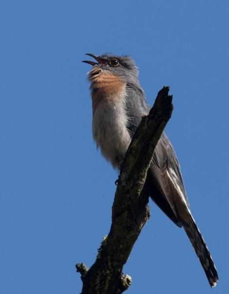 Fan-tailed cuckoo. Adult calling. Gippsland, Victoria, Australia, September 2009. Image © Sonja Ross by Sonja Ross