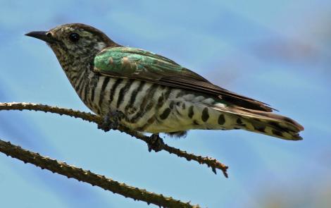 Shining cuckoo. Adult. Wellington, January 2009. Image © Duncan Watson by Duncan Watson