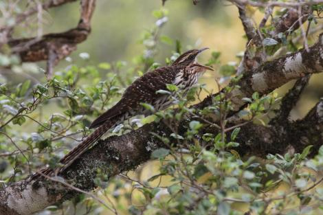 Long-tailed cuckoo. Adult calling while perched. Blowhard Bush, Hawke's Bay, November 2014. Image © Adam Clarke by Adam Clarke