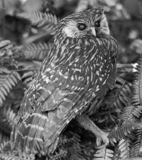 Laughing owl | New Zealand Birds Online