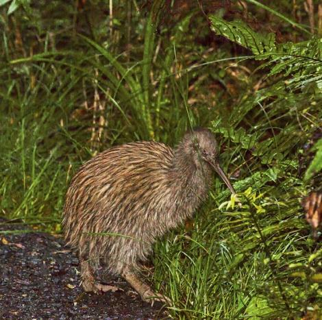 Southern brown kiwi. Adult Stewart Island kiwi on bush track in daylight. Stewart Island, March 2015. Image © Glenda Rees by Glenda Rees https://www.flickr.com/photos/nzsamphotofanatic/