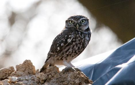 Little owl. Adult. Christchurch, September 2011. Image © Philip Griffin by Philip Griffin Philip Griffin © 2011
