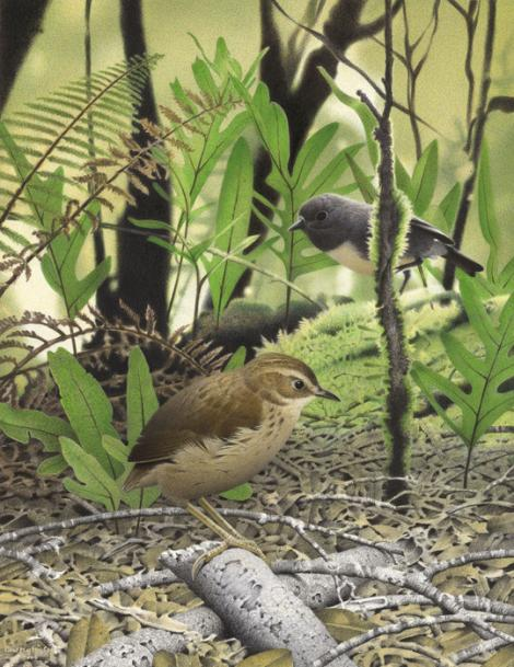 North Island stout-legged wren. Stout-legged wren (Pachyplichas yaldwyni). Image 2006-0010-1/2 from the series 'Extinct birds of New Zealand'. Masterton. Image © Purchased 2006. © Te Papa by Paul Martinson See Te Papa website: http://collections.tepapa.govt.nz/objectdetails.aspx?irn=710964&term=legged+wren