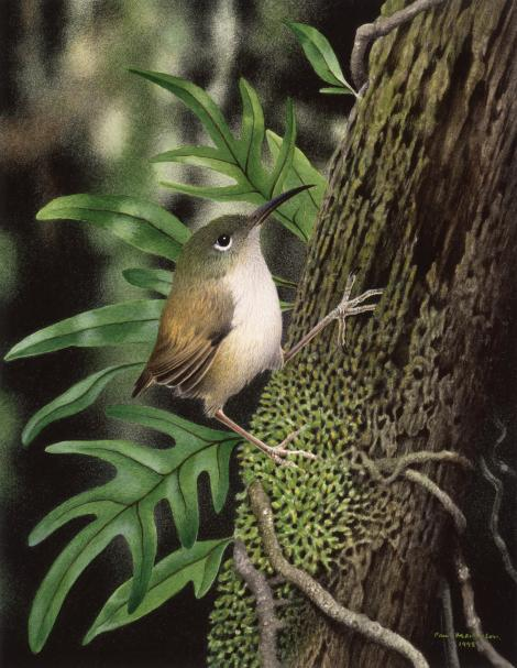 Long-billed wren. Reconstruction based on sketch by Sue Skerman; watercolour on paper 245 x 190 mm. . Image © Paul Martinson by Paul Martinson