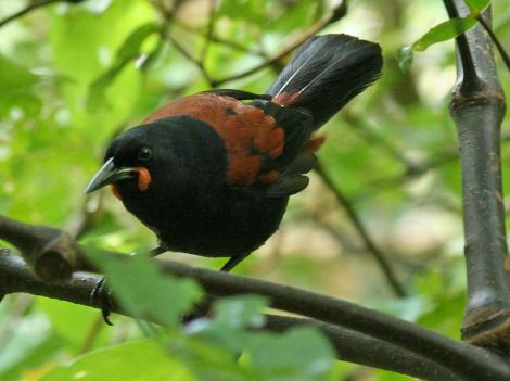 South Island saddleback. Adult. Motuara Island, January 2009. Image © Duncan Watson by Duncan Watson