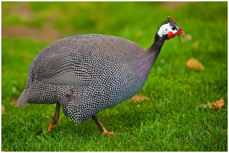 Helmeted guineafowl. Adult feeding on grass and seeds. One Tree Hill, Auckland, October 2014. Image © Les Feasey by Les Feasey