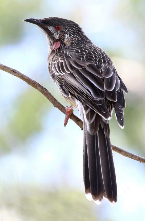Red wattlebird. Adult. Laratinga Wetlands, March 2016. Image © John Fennell by John Fennell