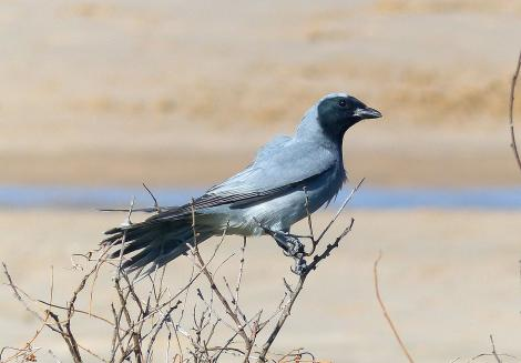 Black-faced cuckoo-shrike. Adult. Fingal Bay, New South Wales, Australia, October 2014. Image © Alan Tennyson by Alan Tennyson
