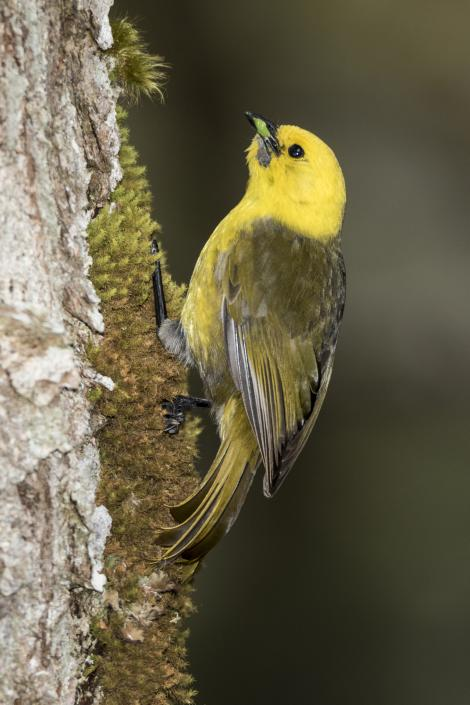Yellowhead. Adult male. Routeburn Flats, Mt Aspiring National Park, December 2015. Image © Ron Enzler by Ron Enzler http://www.therouteburntrack.com