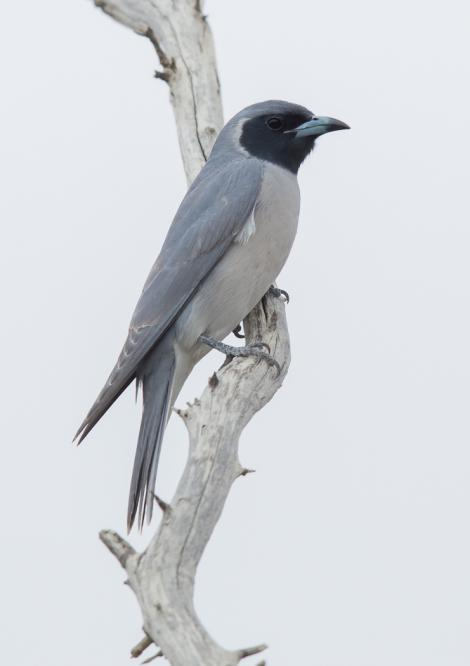 Masked woodswallow. Adult male. Birdsville Track, South Australia, September 2015. Image © David Newell 2015 birdlifephotography.org.au by David Newell