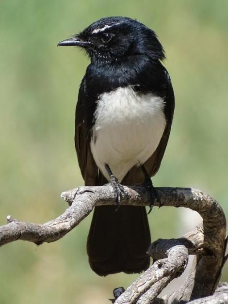 Willie wagtail. Adult. Canberra, Australia, October 2018. Image © R.M. by R.M.
