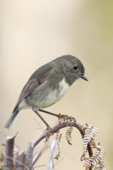 South Island robin. Adult. Okarito, May 2012. Image © Neil Fitzgerald by Neil Fitzgerald www.neilfitzgeraldphoto.co.nz