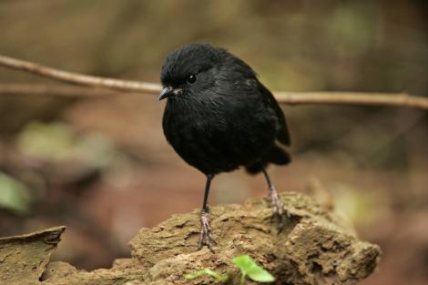 Black robin. Adult. Rangatira Island, February 2010. Image © David Boyle by David Boyle