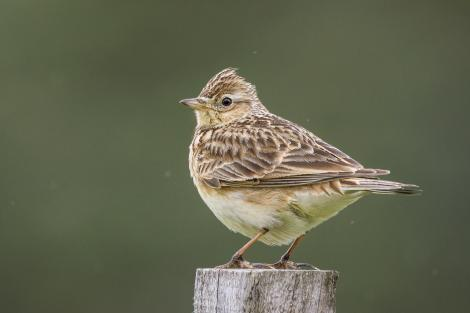 Eurasian skylark. Adult perched on post. Shakespear Regional Park, September 2018. Image © Oscar Thomas by Oscar Thomas