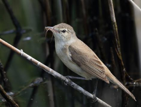 Australian reed warbler. Adult carrying spider. The Sanctuary, Tidbinbilla Nature Reserve, Australian Capital Territory, November 2016. Image © Glenn Pure 2016 birdlifephotography.org.au by Glenn Pure