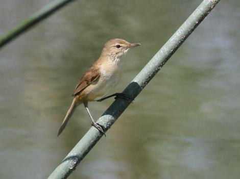 Australian reed warbler. Adult. Laratinga Wetlands, South Australia, February 2015. Image © John Fennell by John Fennell