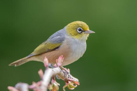 Silvereye. Adult. Rotorua, September 2012. Image © Tony Whitehead by Tony Whitehead www.wildlight.co.nz