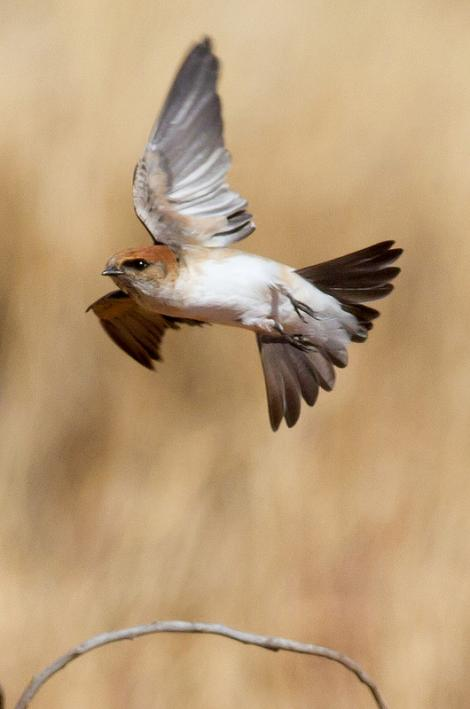 Fairy martin. Adult in flight. , June 2012. Image © Jim Bendon by Jim Bendon via Flickr, 2.0 Generic (CC BY-SA 2.0)