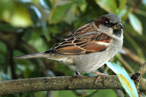 House sparrow. Adult male. Wanganui, June 2011. Image © Ormond Torr by Ormond Torr