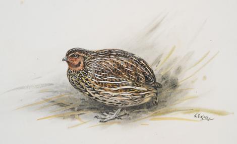 New Zealand quail. New Zealand quail. Image 1992-0035-2366/43. United Kingdom. Image © © Te Papa by George Edward Lodge See Te Papa website: http://collections.tepapa.govt.nz/objectdetails.aspx?irn=653086&term=new+zealand+quail