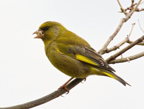 European greenfinch. Adult male eating a nut. Atawhai,  Nelson, September 2020. Image © Rebecca Bowater FPSNZ AFIAP by Rebecca Bowater www.floraand fauna.co.nz