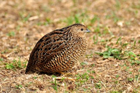 Brown quail. Adult. Tiritiri Matangi Island, March 2013. Image © Cheryl Marriner by Cheryl Marriner http://www.glen.co.nz/cheryl