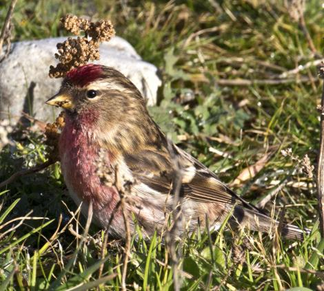 Common redpoll. Adult male feeding on seed. Boulder Bank,  Nelson, July 2015. Image © Rebecca Bowater by Rebecca Bowater FPSNZ AFIAP www.floraandfauna.co.nz