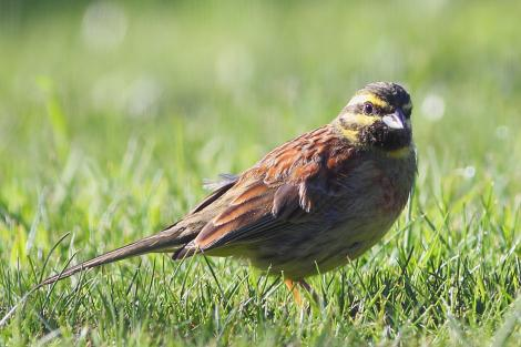 Cirl bunting. Adult male, feeding on residential lawn. Tasman Bay,  Nelson, September 2014. Image © Rob Lynch by Rob Lynch