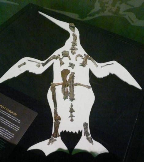 Mannering's penguin. Composite skeleton (with Waipara penguin) including the holotype right leg and pelvis, Canterbury Museum zfa35. Waipara Greensand, Waipara River, Canterbury. Image © Alan Tennyson by Alan Tennyson