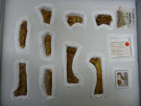 Lopdells' penguin. Holotype in Otago Museum, tarsometatarsus 5.5 cm long, registration numbers GL428, C.47.21. Duntroon, Otago. Image © Otago Museum, Dunedin by Alan Tennyson
