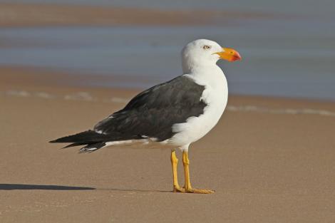 Pacific gull. Adult. Woolamai Beach, Phillip Island, Victoria, Australia, February 2013. Image © Simon Smith by Simon Smith