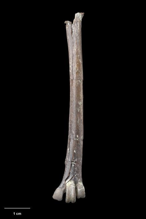 St Bathans heron. Holotype (tarsometatarsus), S.050003, Te Papa. St Bathans. Image © Te Papa