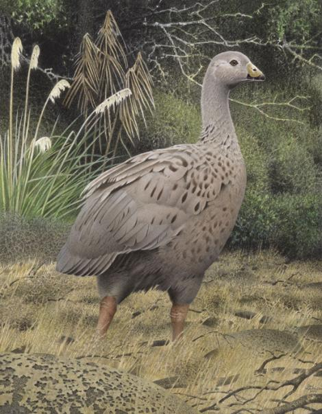 North Island goose. North Island goose (Cnemiornis gracilis). Image 2006-0010-1/28 from the series 'Extinct birds of New Zealand'. Masterton. Image © Purchased 2006. © Te Papa by Paul Martinson See Te Papa website: http://collections.tepapa.govt.nz/objectdetails.aspx?irn=710929&term=north+island+goose
