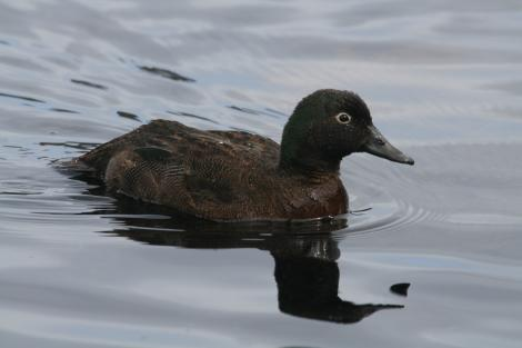 Campbell Island teal. Adult female on water. Campbell Island, March 2011. Image © Detlef Davies by Detlef Davies