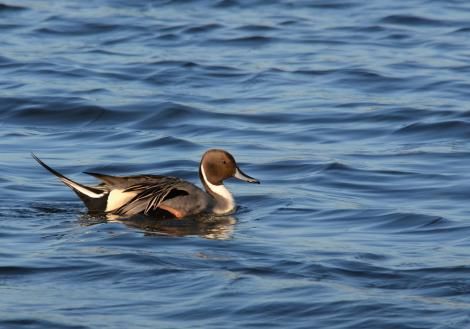 Northern pintail. Adult male in breeding plumage, swimming. Parc du Marquenterre, France, March 2016. Image © Cyril Vathelet by Cyril Vathelet