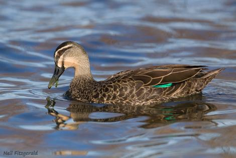 Grey duck. Adult. Lake Taupo, Waikato, April 2009. Image © Neil Fitzgerald by Neil Fitzgerald www.neilfitzgeraldphoto.co.nz