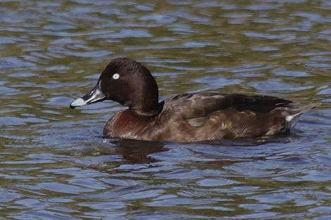 Australian white-eyed duck. Adult male. Kaiapoi, Christchurch, April 2012. Image © Peter Langlands by Peter Langlands