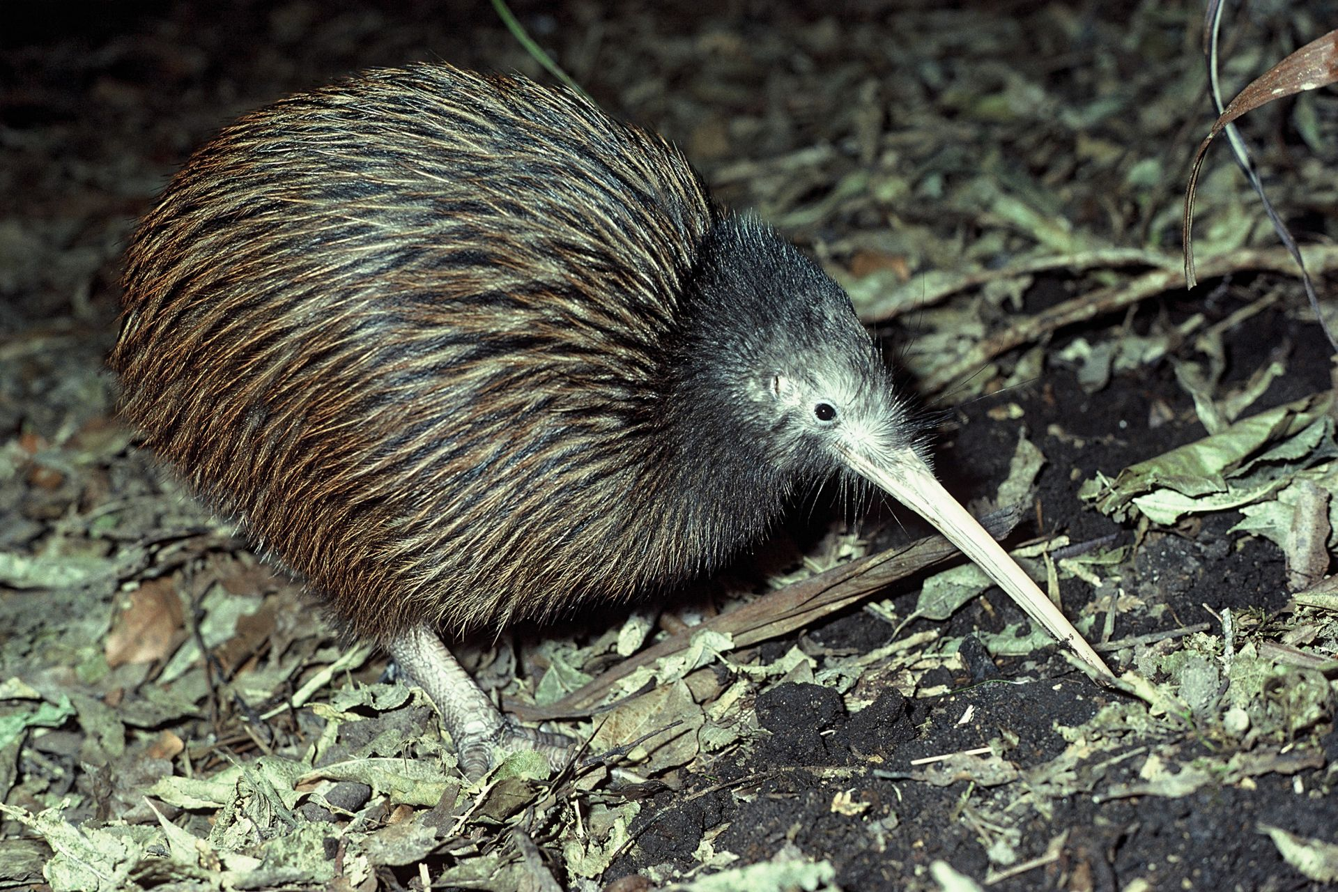Image result for brown kiwi