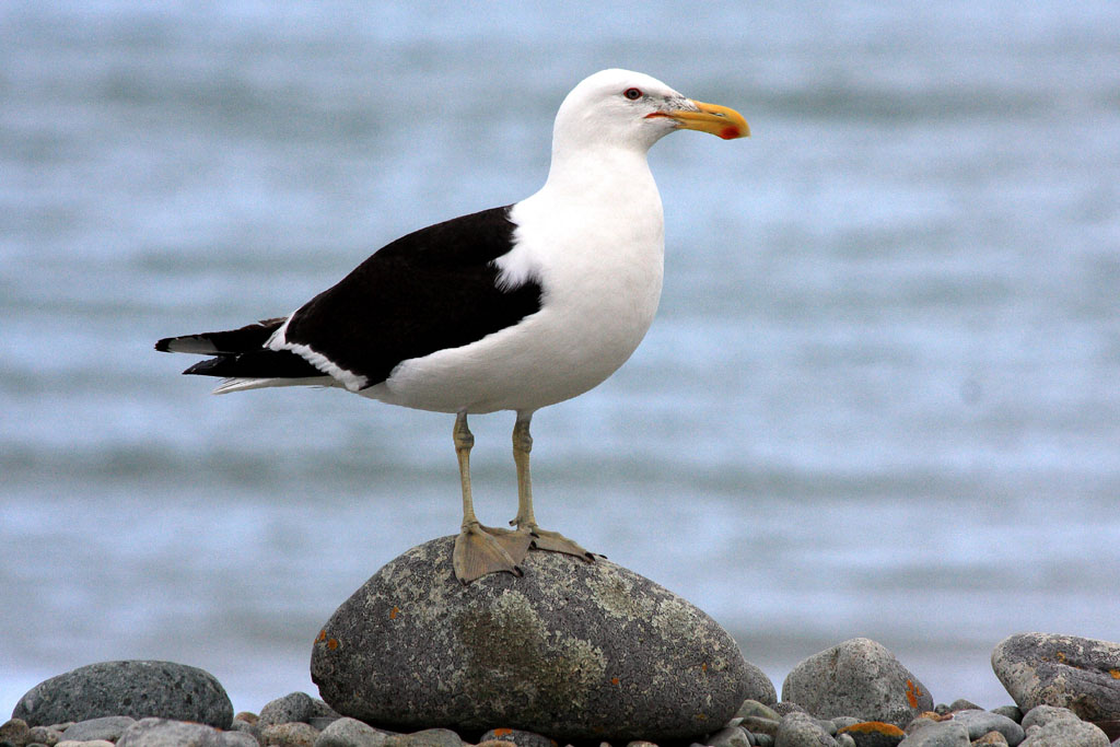 Southern black-backed gull | New Zealand Birds Online