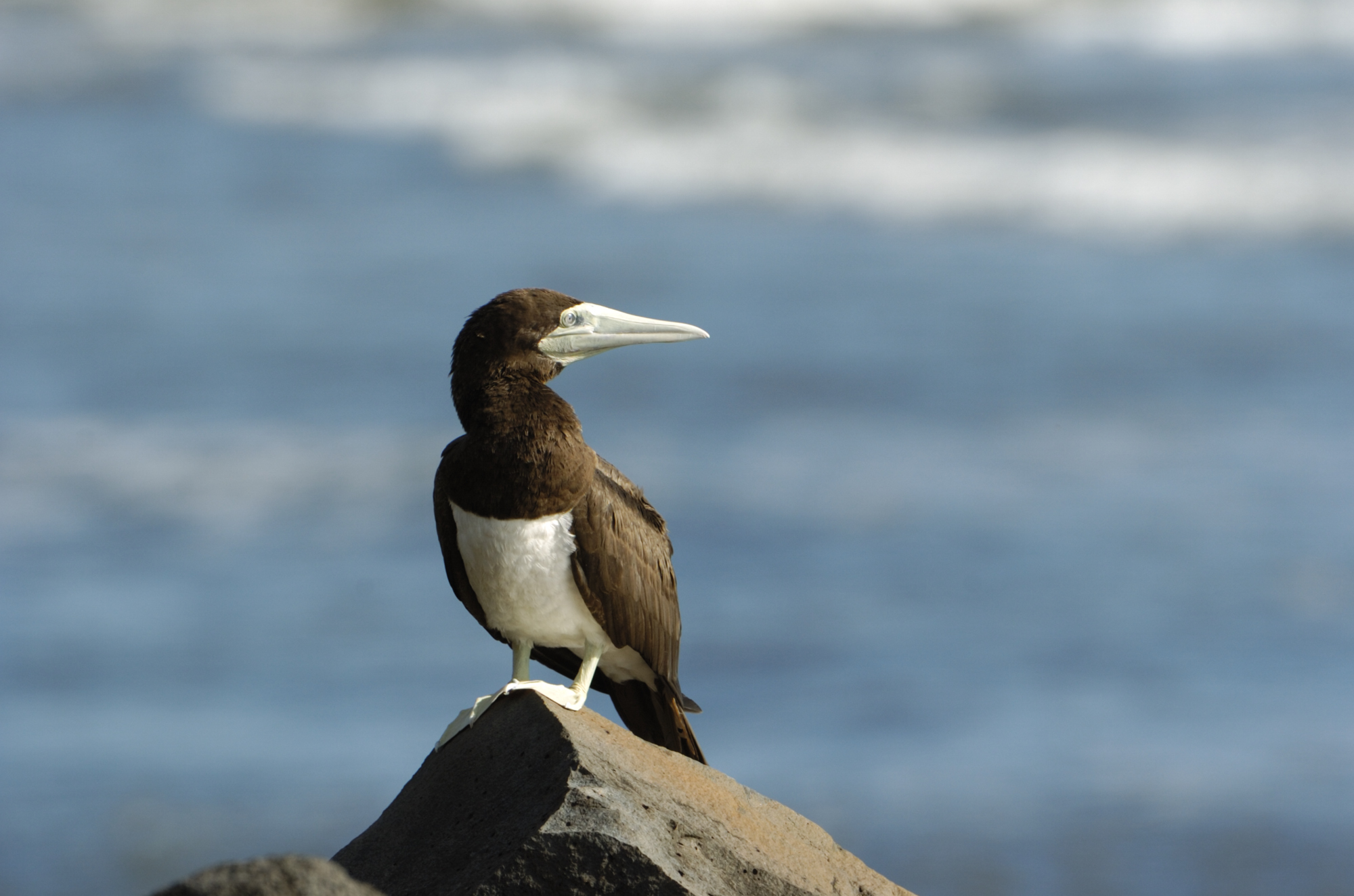 Variation In Birds Brown booby. Adult per...