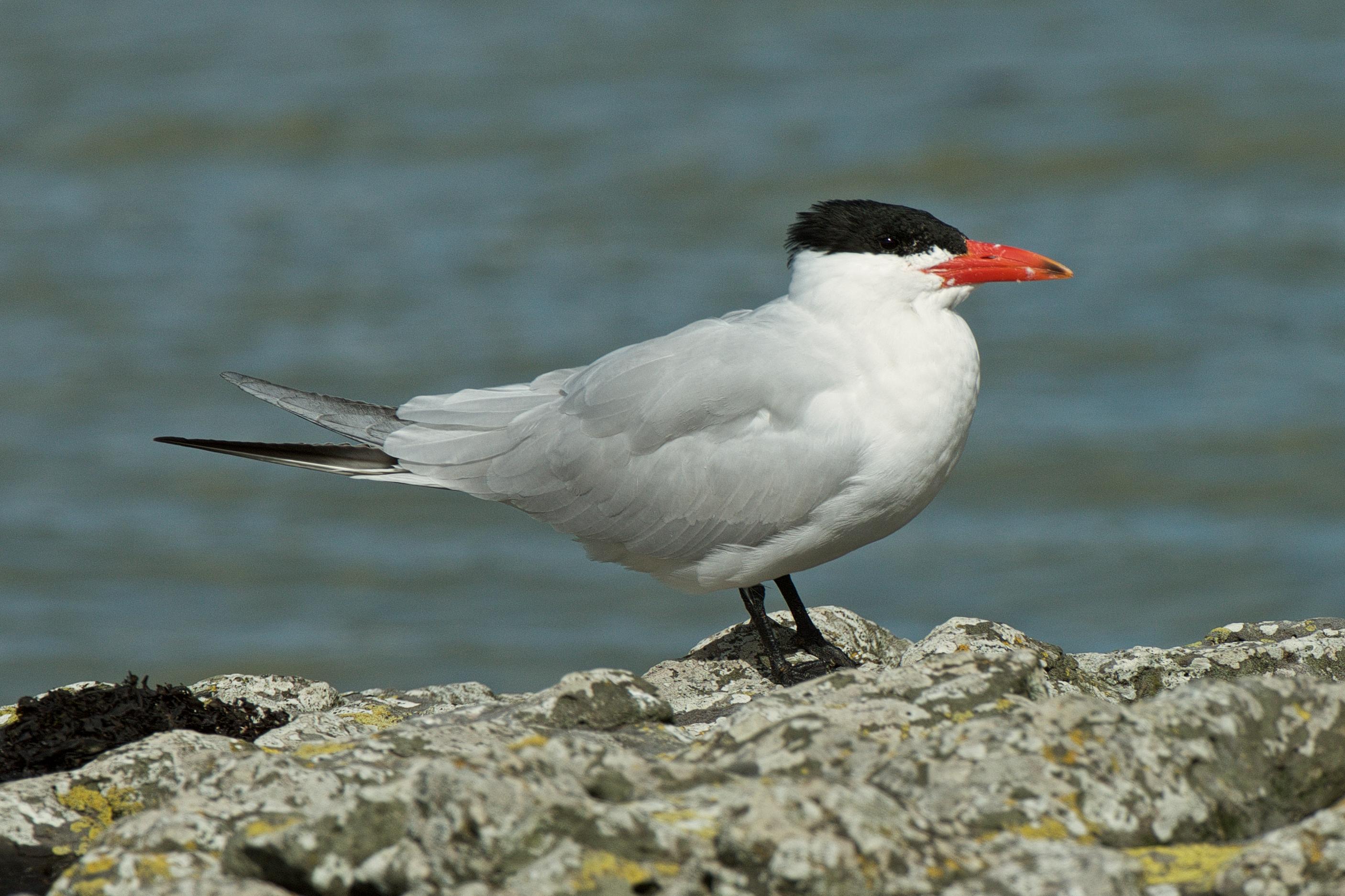 Caspian tern new zealand birds online sciox Choice Image
