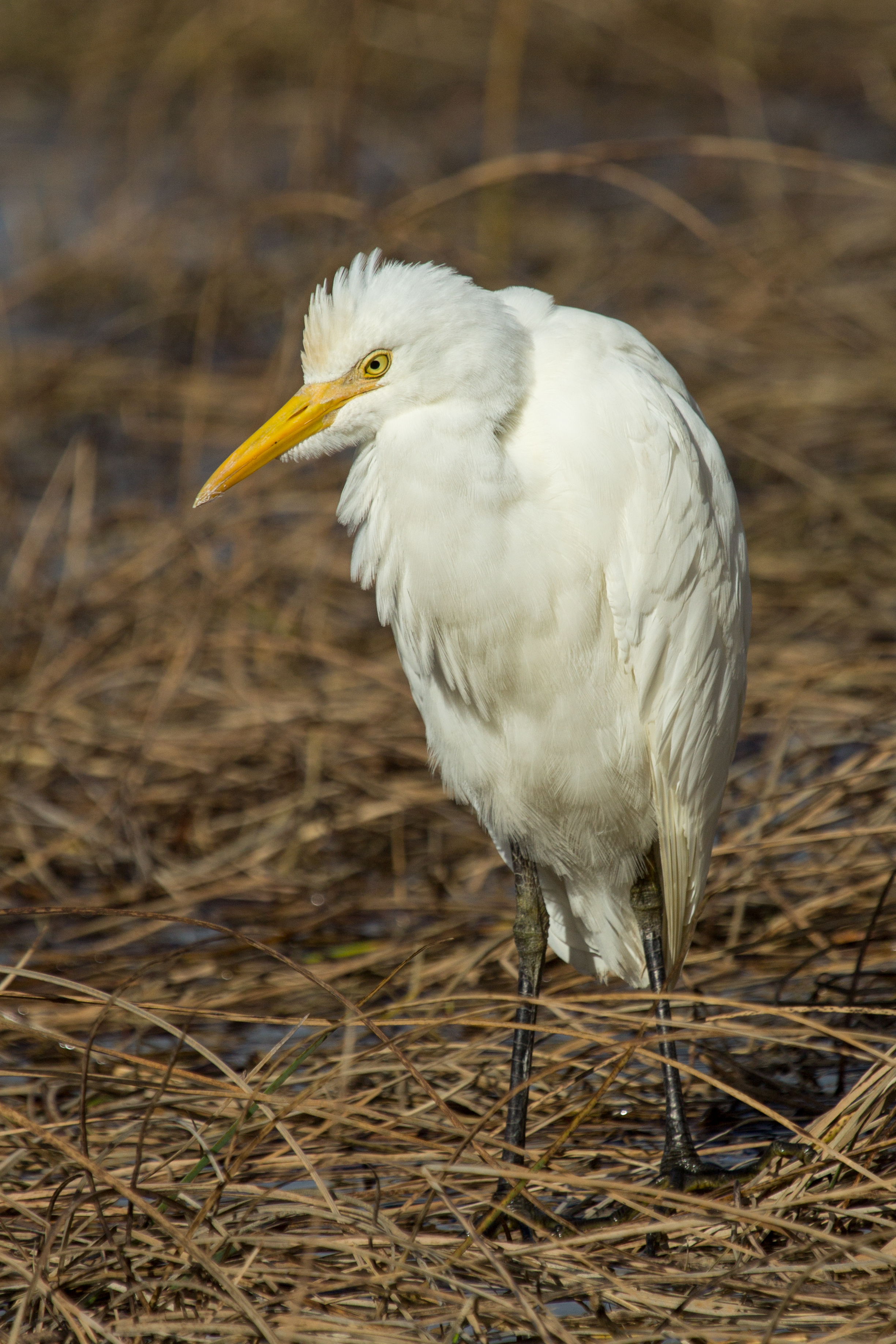 How to Identify a Cattle Egret
