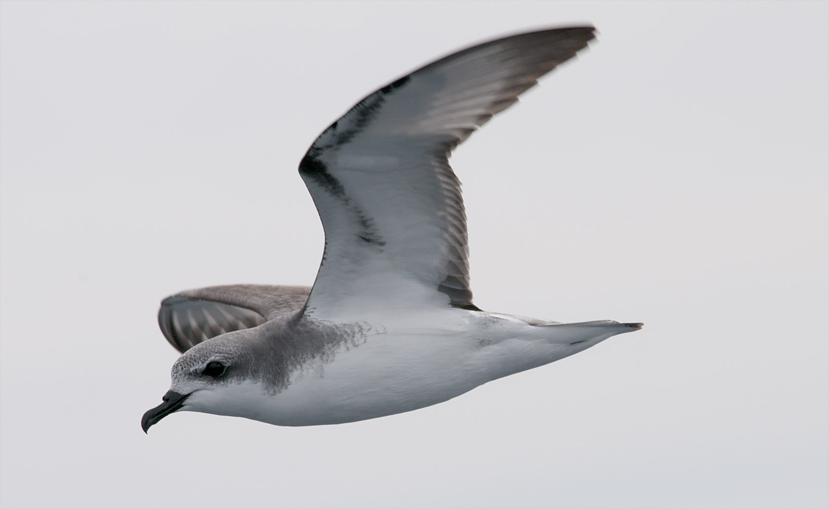 Cook's petrel. Adult in flight showing head, neck and underwing. Near  Little Barrier