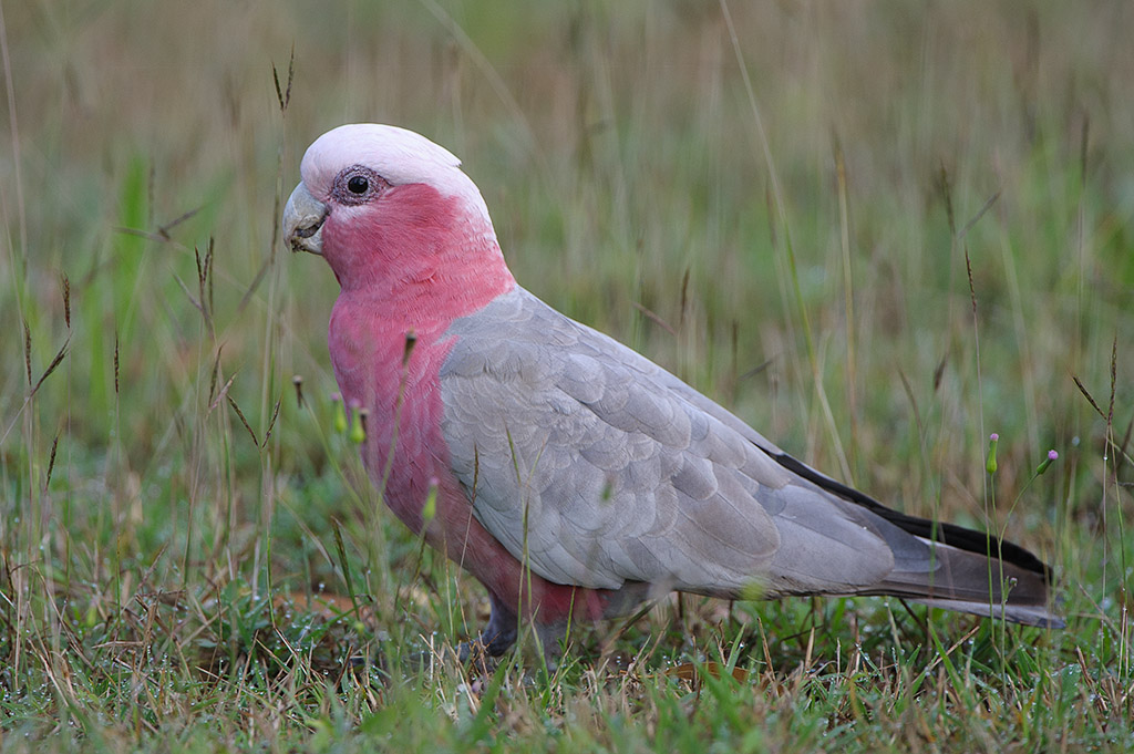 Pink cockatoo and galah galah male showing dark iris