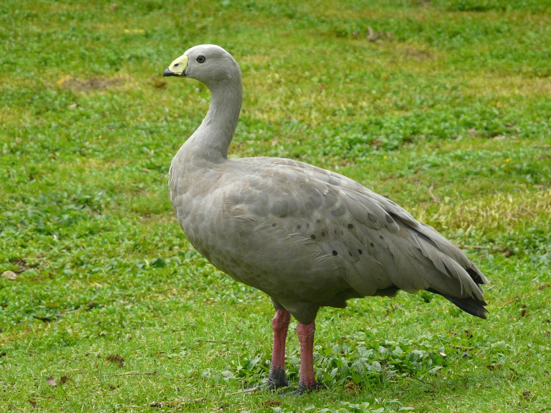 cape barren goose new zealand birds online