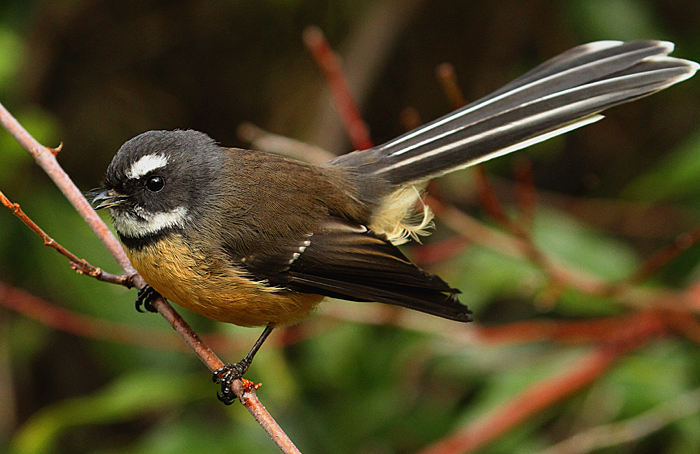 New Zealand Fantail New Zealand Birds Online Fantial with xlr and trs returns. nz birds online
