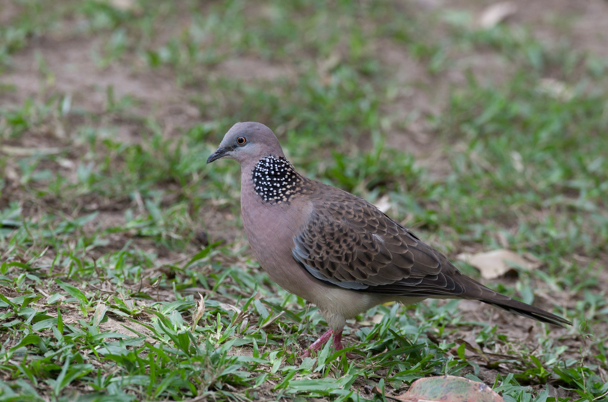 Spotted dove flying - photo#22