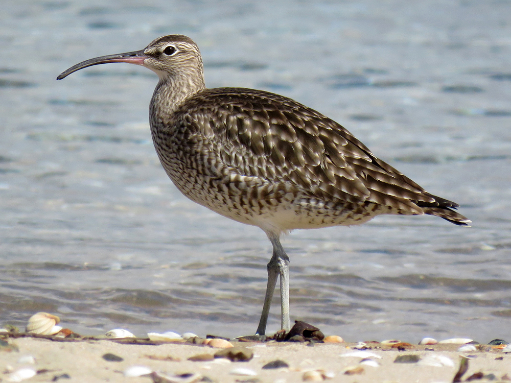 Whimbrel New Zealand Birds Online